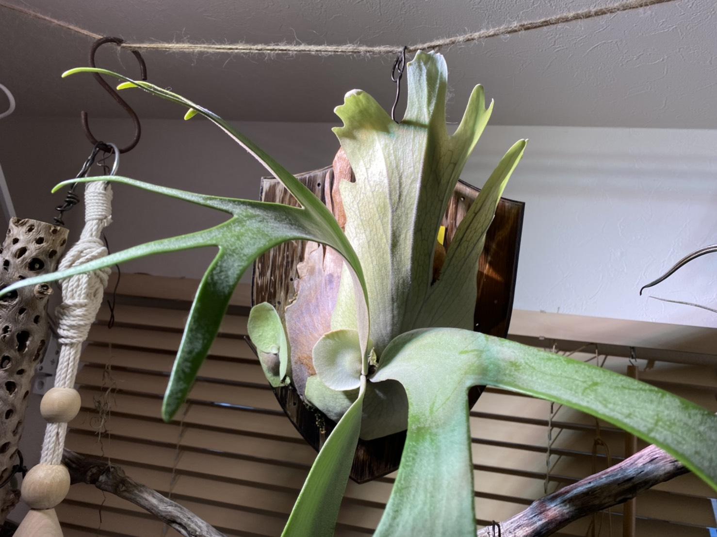 美しのワイルド種。P.willinckii cv.ionicの約1年後。