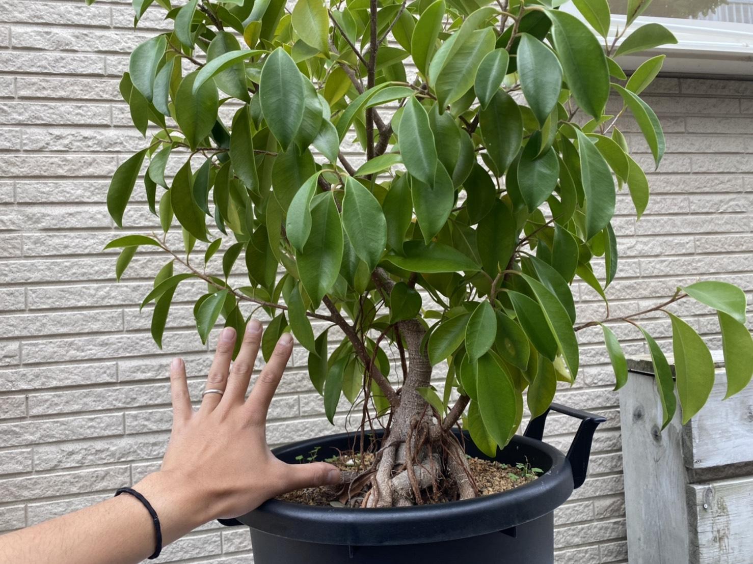 【6年後】ガジュマル挿し木の成長記録。