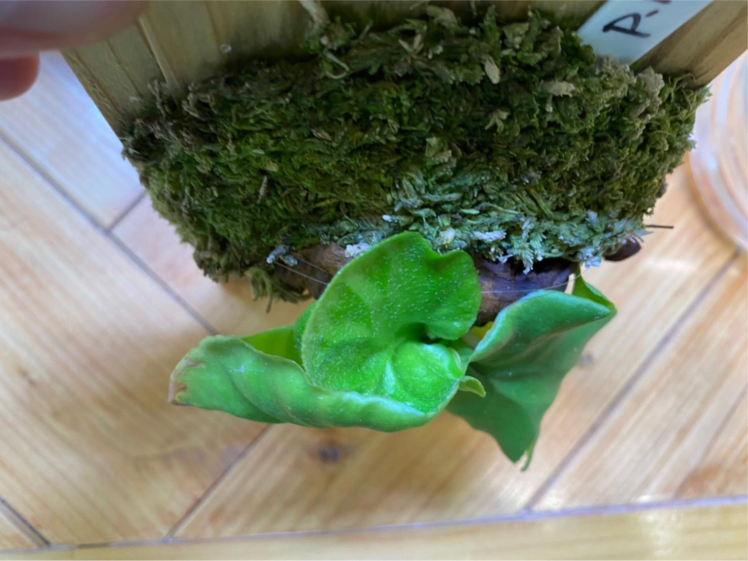【極小リドレイ】貯水葉の裏から出た葉のメンテナンス。