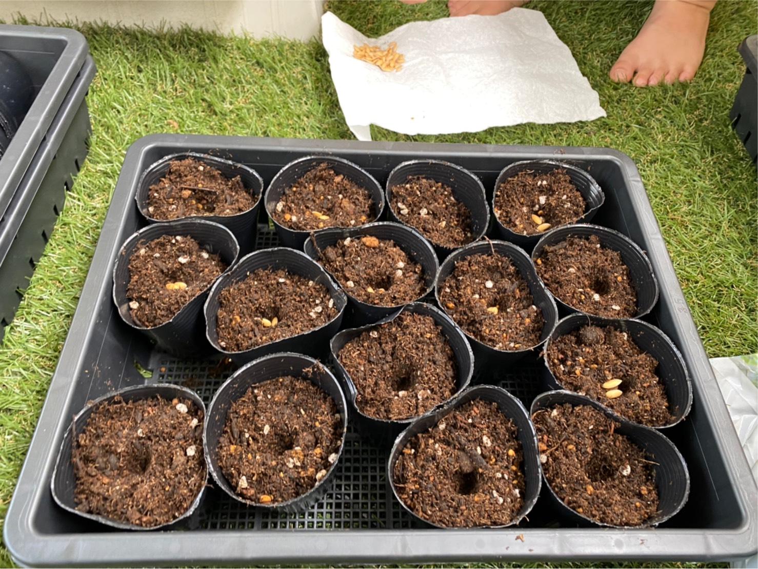 食べたメロンの種が発芽するのか実験。