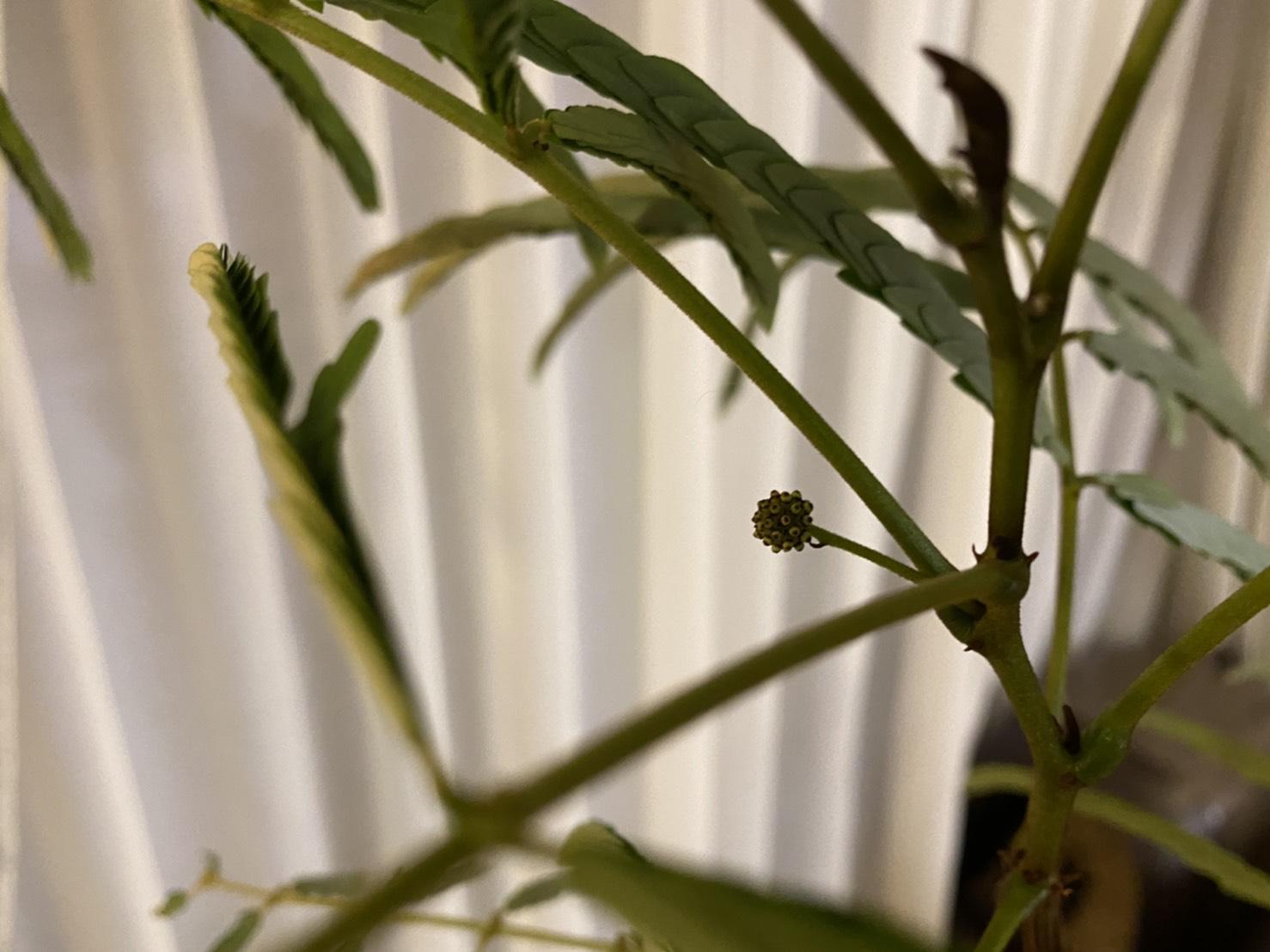 種から育てたエバーフレッシュが花芽を付けるまでの日数。
