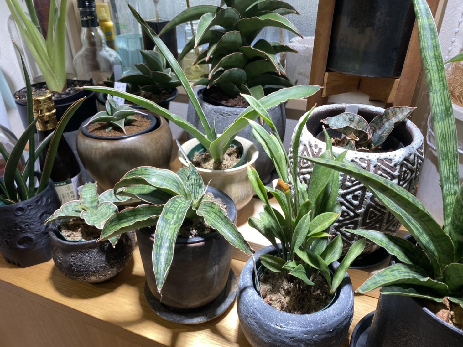 サンスベリアが良く育つ環境設備を考える。