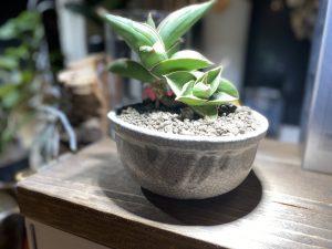 信楽鉢にサンスベリアを植え付けてみる。